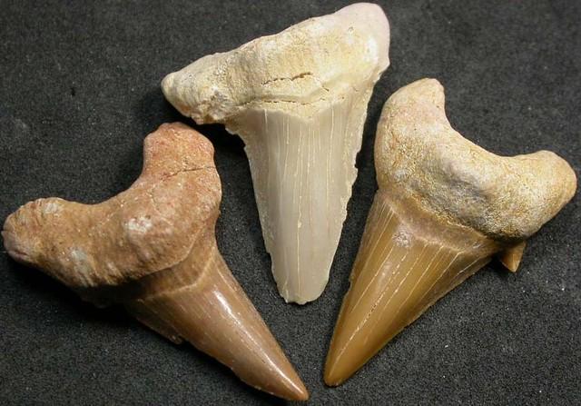 SHARK TEETH FOSSIL PARCEL  -OTODUS-MOROCCO 135 CTS [MX7160 ]