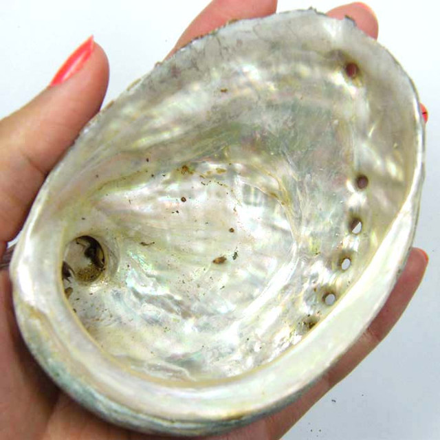 BROOME MOTHER OF PEARL ABALONE SHELL 206 CTS  AAA1746