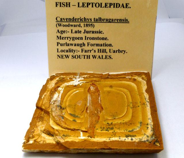 AUSTRALIAN FISH FOSSIL 676     CTS RT 1475