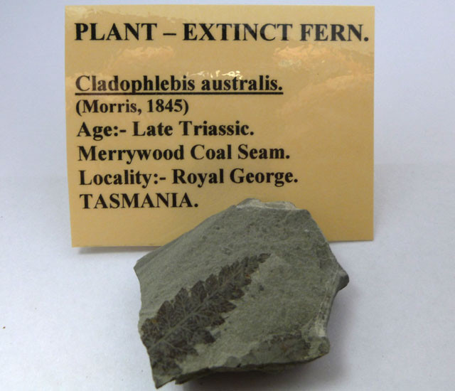 AUSTRALIAN EXTINCT PLANT FOSSIL  FERN    174  CTS RT 1479