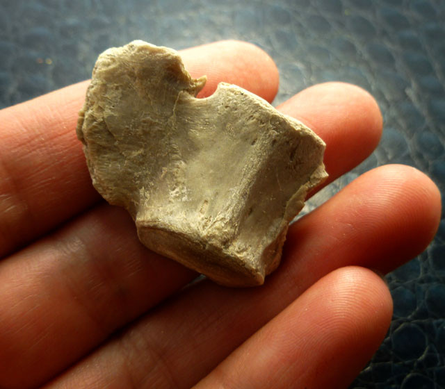 60CTS OREDON BONE SECTION 35 MILLION YRS OLD MS 370