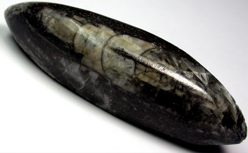 ORTHOCERAS ANCIENT FOSSIL  120 CTS [MGW956 ]