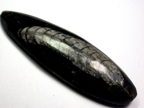 ORTHOCERAS ANCIENT FOSSIL  85 CTS [MGW958 ]