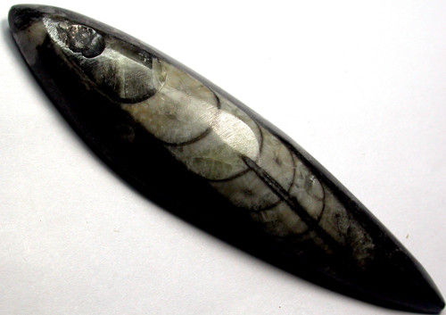 ORTHOCERAS ANCIENT FOSSIL  105 CTS [MGW999 ]