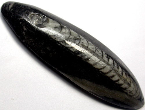 ORTHOCERAS ANCIENT FOSSIL  70 CTS [MGW1004 ]