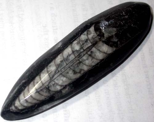 ORTHOCERAS ANCIENT FOSSIL  105 CTS [MGW1011 ]