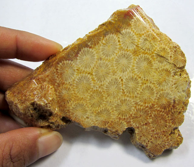 555 CTS ONE NATURAL  CORAL FOSSIL SLAB MS1408