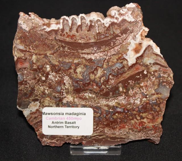 Stromatolite ,Madiganites mawsoni slice Australia (GR26)