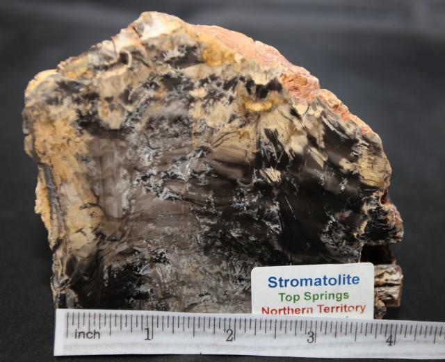 Stromatolite Fossil Polished and rough, Australia (GR56)