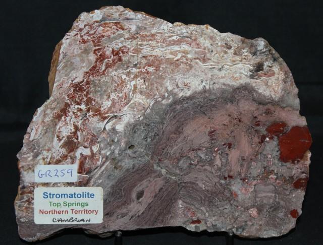Stromatolite Polished Slice, Top Springs, Australia (GR259)