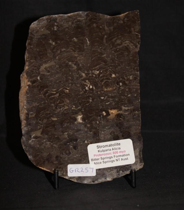 STOMATOLITE KULPARIA ALICIA Fossil Australia (GR257)