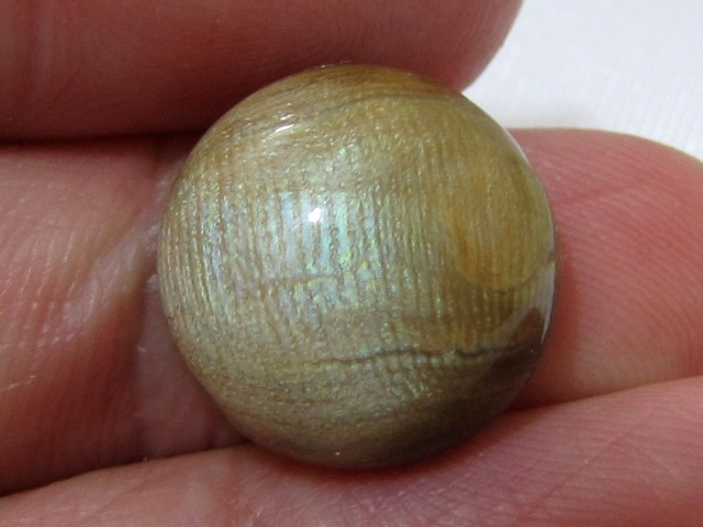 RARE! 14mm Untreated GOLDEN CORAL Pacific ~ Bluish Green Sheen