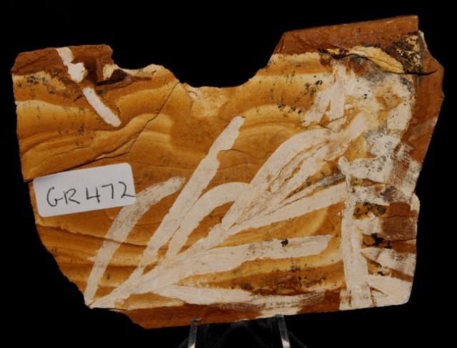 AGATHIS JURASSICA Slab, AUSTRALIA (GR472)
