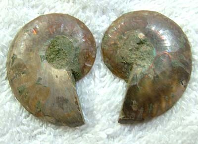 (MGW) SPECIMEN OF AMMONITE CHELINOCERAS 55 CTS FP 287