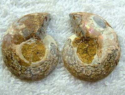 (MGW) LARGE SPECIMEN OF AMMONITE CHELINOCERAS 65 CTS FP 293