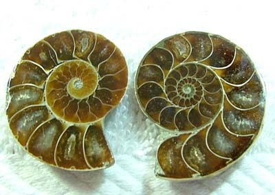 (MGW) LARGE SPECIMEN OF AMMONITE CHELINOCERAS 85 CTS FP 295