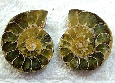 (MGW) LARGE SPECIMEN OF AMMONITE CHELINOCERAS 85 CTS FP 296