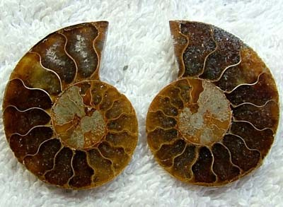 (MGW) LARGE SPECIMEN OF AMMONITE CHELINOCERAS 55 CTS FP 300