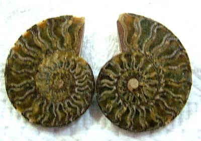(MGW) LARGE SPECIMEN OF AMMONITE CHELINOCERAS 95 CTS FP 303