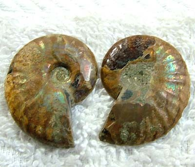 (MGW) LARGE SPECIMEN OF AMMONITE CHELINOCERAS 40 CTS FP 320