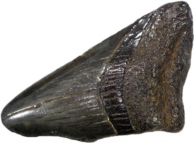 35.45 CTS  MEGALDON SHARK TOOTH FOSSIL [MGW5028]