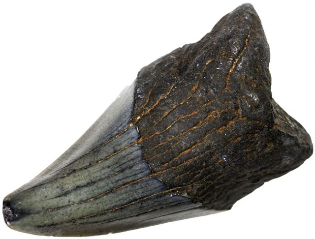 63.05 CTS  MEGALDON SHARK TOOTH FOSSIL [MGW5038]