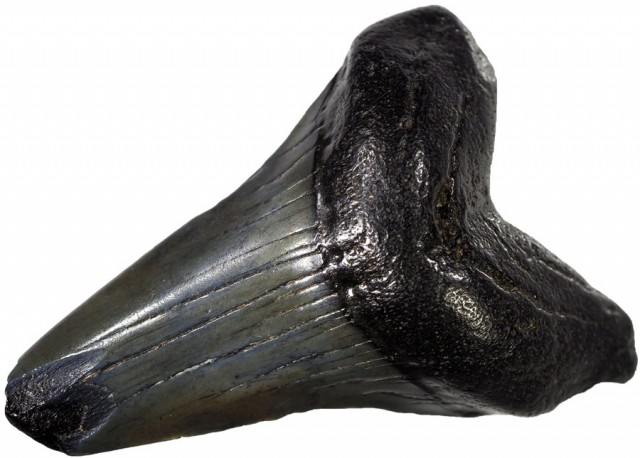59.00 CTS  MEGALDON SHARK TOOTH FOSSIL [MGW5042]
