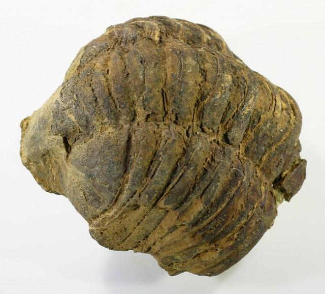 160cts C Trilobite  PPP1368