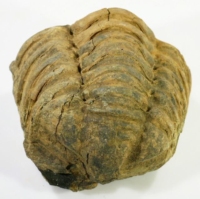 210cts C Trilobite  PPP 1370