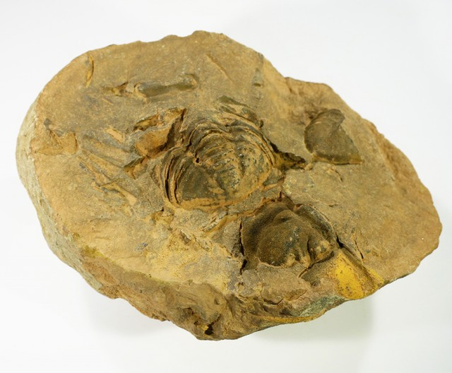 500cts Dig Your Own Trilobite  PPP 1376
