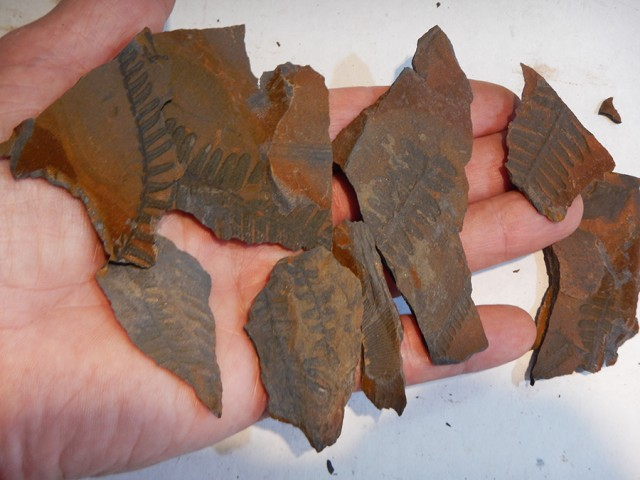 8 pcs Fern Fossil on Slate  300 million years old PPP1426