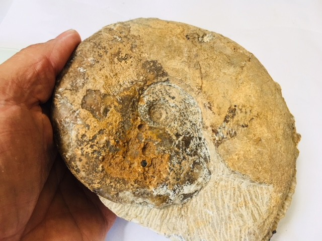 1.39 KILO Ammonite from Morocco