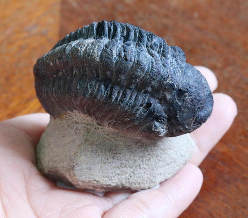 595cts Morocco Phacops Trilobite SU 119