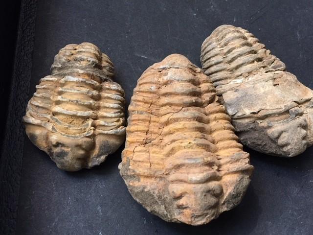 .203 kilo  parcel three large  Moroccan  Trilobites SU 203