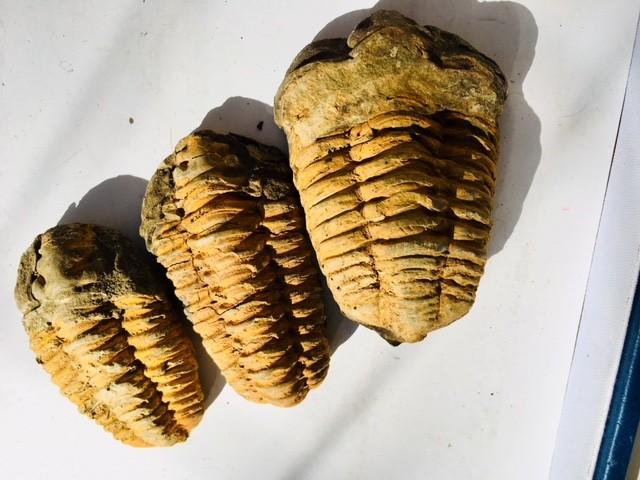 .280 kilo  parcel three large  Moroccan  Trilobites SU 206