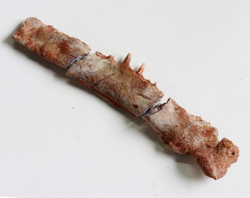 155.35Cts Rare Jaw bone with teeth Fossil Morocco SU400