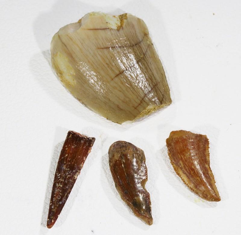 Collectors set Dinosaur teeth from Morocco  SU451