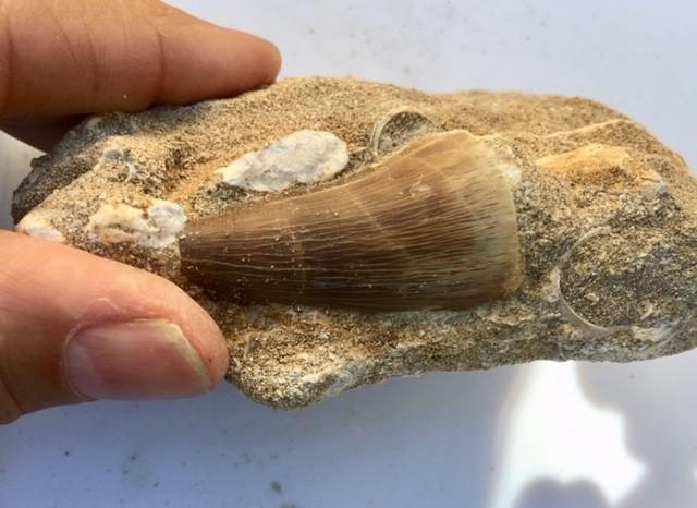 1312cts Dinosaur Mosasaurus Tooth on Fossil bedrock WS 410