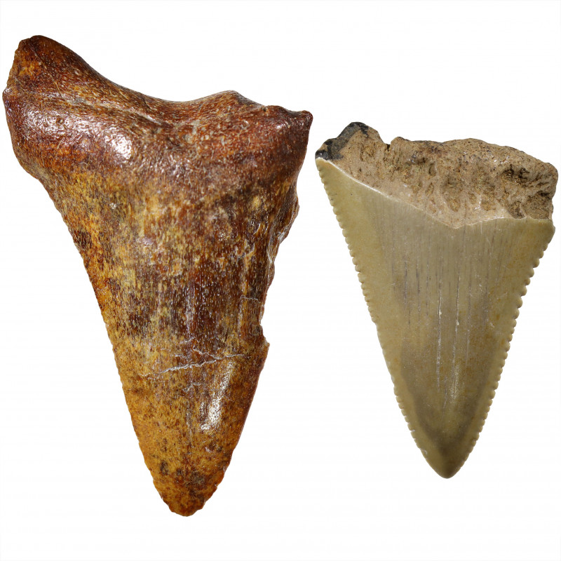 71.66 CTS  MEGALDON SHARK TOOTH FOSSIL  [PARCEL ]