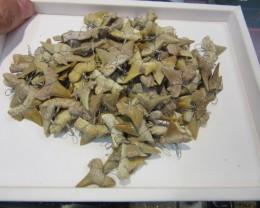 RE SELLERS  PARCEL 100 SHARK TEETH PENDANTS AGR 1024
