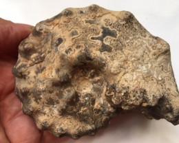 .669 Kilo Mamite ammonite specimen Morocco SU 224