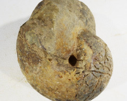 225cts Weathered Ammonite Specimen from Morocco SU414