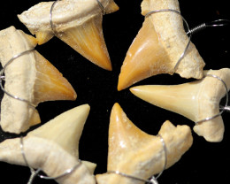 6 X MOROCCAN FOSSIL SHARK TEETH PENDANTS BR 2540