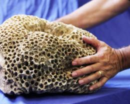 28 Kilos massive Indonesian Fossil coral specimen