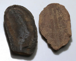 250 cts 300 Million Year old Fern Fossils  NA101