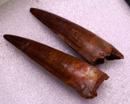 Treasures Collection From Jurasic period Dinosaur Teeth NA 520
