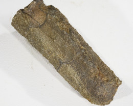 .150Cts Fossil Crinoid ,Sea Lily stem Morocco SU404