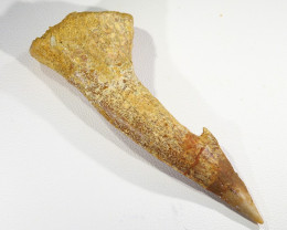 Top Fossil Rostral Barbed Tooth from Sawfish, Morocco SU429-1