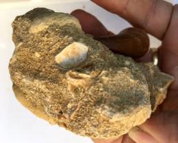 836 cts Dinosaur Mosasaurus Tooth on Fossil bedrock WS412