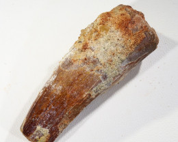 120Cts Fossil Tooth From a Spinosaurus Dinosaur Morocco SU362